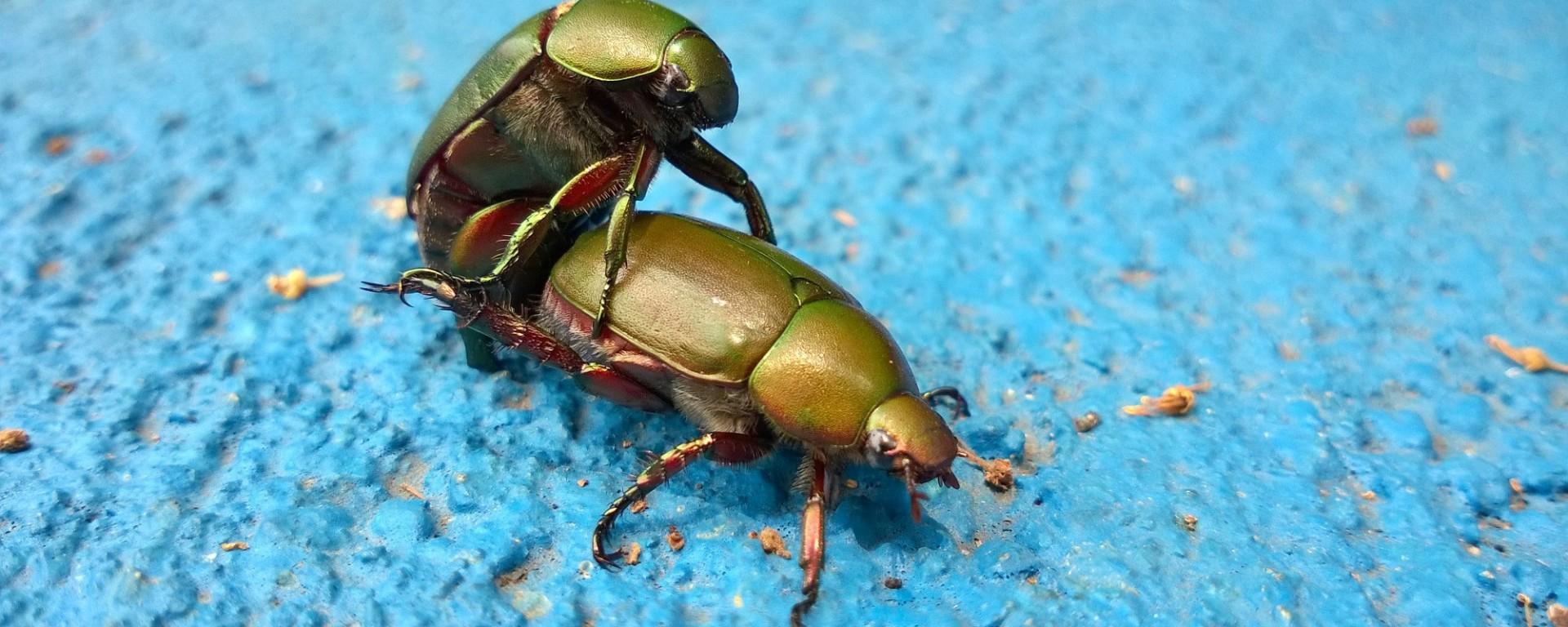 Beetles having sex